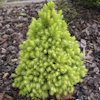 Picea Rainbow`s End