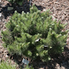 Pinus March