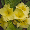 Primula yellow